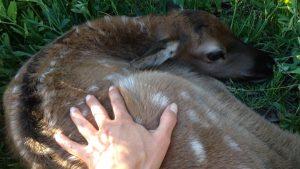11. dying deer 8 good light